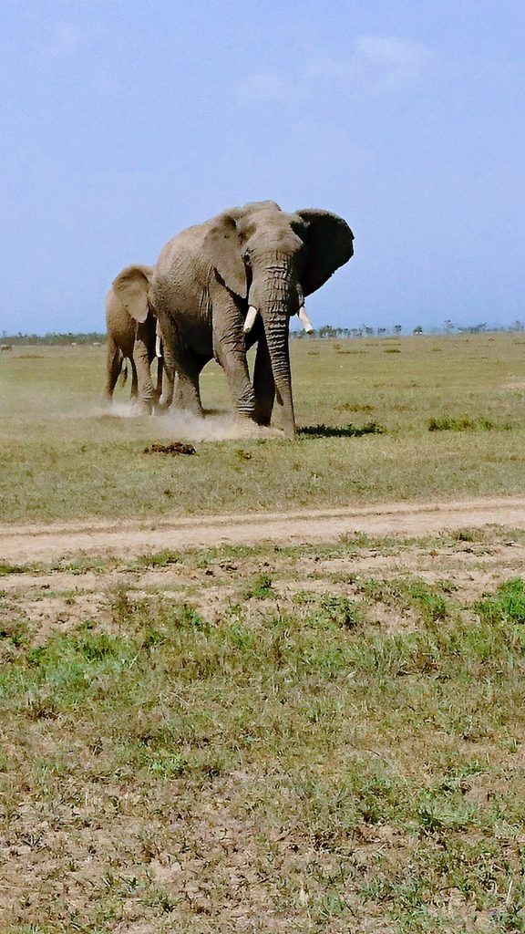 Elephants at Ol Pejeta